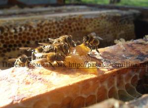 пчелы едят мёд