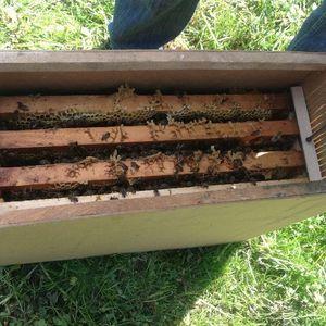 пчелопакет карпатской породы